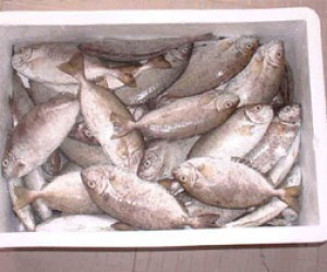 Одна из петербургских компаний мошенничала с поставками рыбы