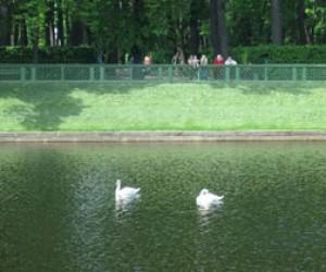 Лебеди из Летнего сада улетели на зимовку
