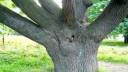 Старинный дуб из Летнего сада может стать памятником?