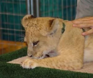 Львёнок, которого везли из Питера, родился не в Красноярском зоопарке