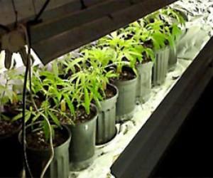 Находчивый питерский студент на балконе выращивал коноплю