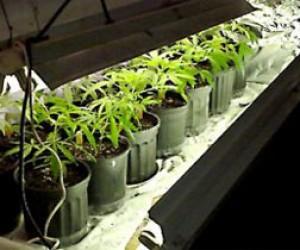 Полиция накрыла плантацию марихуаны