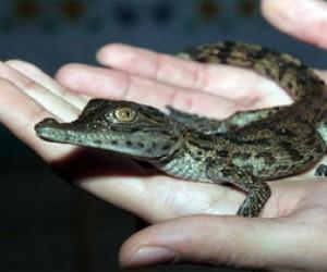 В питерском дворе нашли детёныша нильского крокодила