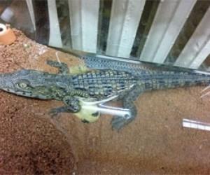 Голодающий нильский крокодильчик