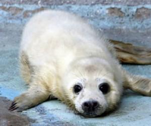 В Питере спасли серых тюленят