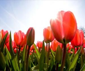 9 мая в Петербурге расцветут около 2 миллионов цветов