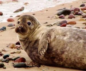 На заправке нашли маленького тюленёнка