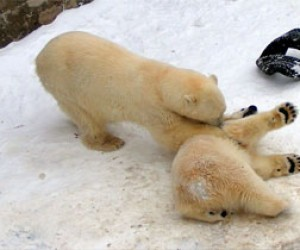 В Ленинградском зоопарке публике представили медвежонка
