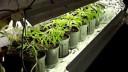 В питерской квартире обнаружилась плантация марихуаны