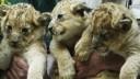 В Питере на автостоянке обнаружили трех львят