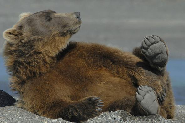 С наступлением августа –стартует фотоохота на медведя