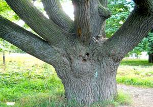 самые старые деревья подмосковья белье отлично поддерживает
