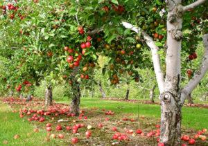 Яблоневый сад в подарок Санкт-Петербургу в день российского предпринимательства